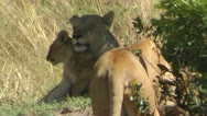 Stock Video Footage of Lion and lioness Safari