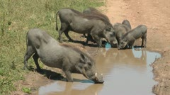 Boars drink Stock Footage