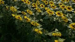Flight over sunflower field Stock Footage