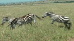 Zebra in Africa Stock Footage