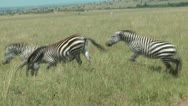 Stock Video Footage of Zebra in Africa