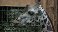 Stock Video Footage of giraffe in zoo