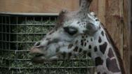 Giraffe in zoo Stock Footage