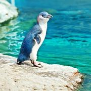 Blue penguin Stock Photos