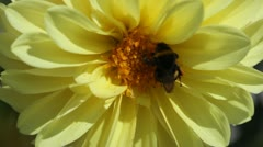 Two pink dahlias, on one of them sit a bumblebee Stock Footage