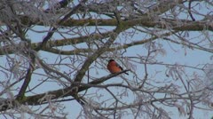 Red  bullfinch (Pyrrhula pyrrhula) on frosty tree Stock Footage