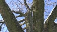 Oak trunk and winter hoarfrost Stock Footage