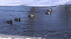 Stock Video Footage of wintering ducks (Anas platyrynchos) on river water