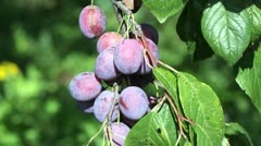Ripe plums on a branch Stock Footage