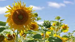 Big field of sunflowers against the blue sky Stock Footage