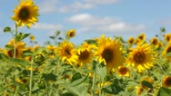 Field with blossoming sunflowers against the blue sky Stock Footage