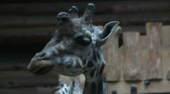 Giraffes in zoo Stock Footage
