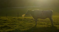 Cow on a field at sunset - stock footage
