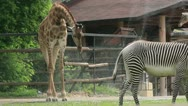 Giraffe drink in the zoo Stock Footage