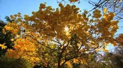 Yellow Tree - stock footage
