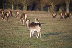 herd of fallow deer with fawns in forest landscape - stock photo