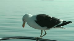 Handicapped seagull balancing on a ships railing Stock Footage