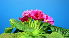 Flowering pink primula with blue chroma key (Primula vulgaris. Bright pink) Stock Footage