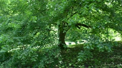 Walk between old green lime tree branches leaf park Stock Footage