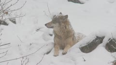 Wolf in winter Stock Footage