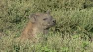 Stock Video Footage of HYENA PORTRAIT