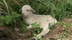 Lamb resting Stock Footage