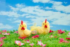 Easter: two yellow chicken sitting on a green meadow with flowers in front of Stock Photos