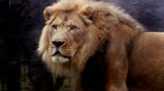 Lion Stock Footage