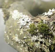 natural bough with moss and lichen - stock photo