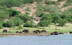 african buffalos waterside in uganda - stock photo