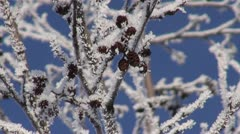 Beautiful hoarfrost on alder (Alnus incana) and blue sky Stock Footage