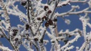 Stock Video Footage of beautiful hoarfrost on alder (Alnus incana) and blue sky
