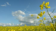 Beautiful summer rape field panorama Stock Footage