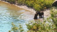 Stock Video Footage of Grizzly Bear Cubs Glacier Park