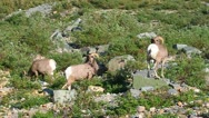 Stock Video Footage of Bighorn Sheep Glacier National Park