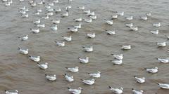 Seagulls lintu Arkistovideo