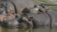 Hippopotamus amphibius in water, group Stock Footage