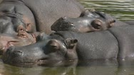 Stock Video Footage of Hippopotamus amphibius in water, group