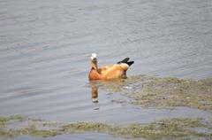 one roody shelduck on water - stock photo