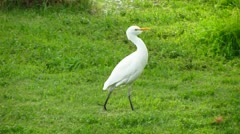 Egret - stock footage