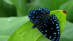 Stunning extreme closeup Butterfly Black Blue dot Stock Footage
