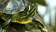 Stock Video Footage of Close Up Turtle head at pool