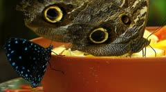Stunning close up Owl Butterfly n Blue dot Butterfly Stock Footage