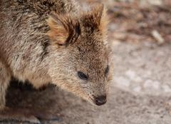 Quokka closeup, Australian marsupial - stock photo