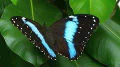 Stunning extreme closeup  Blue Morpho Butterfly Peleides limpida Stock Footage