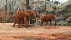 African elephant Stock Footage