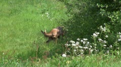 (4) Roe deer with two fawns Stock Footage