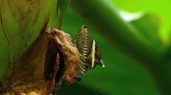 Stunning extreme closeup Zebra Mosaic Butterfly Colobura dirce URINATING Stock Footage