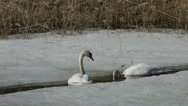 Mute swans in early spring swimming around each other Stock Footage