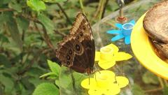 Brown butterfly Stock Footage